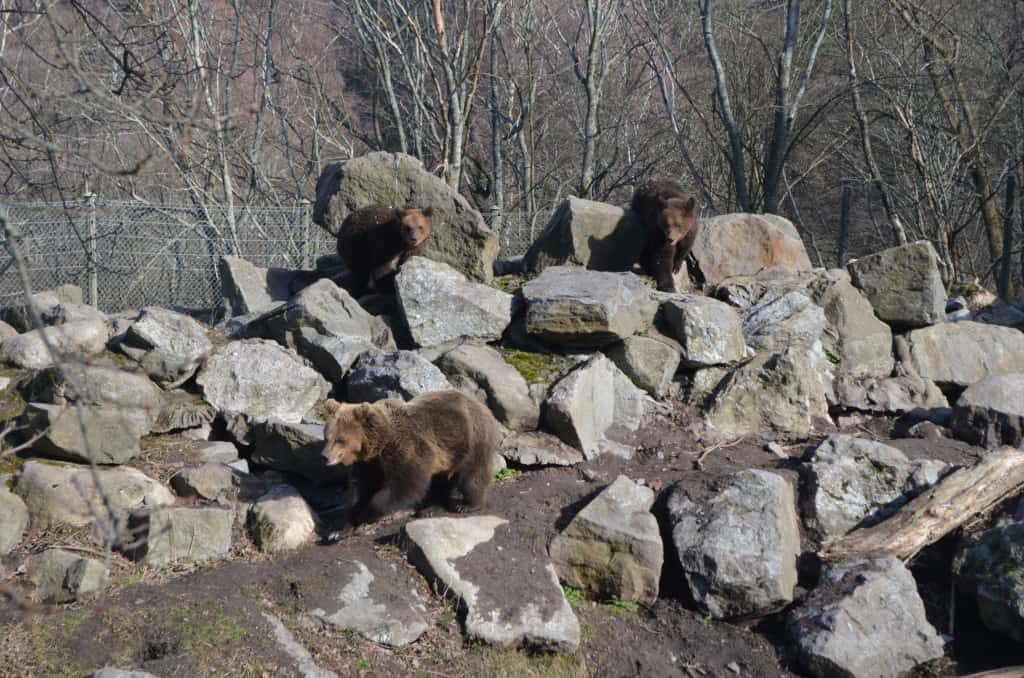 I had a lot of fun watching these playful bears at Skansen