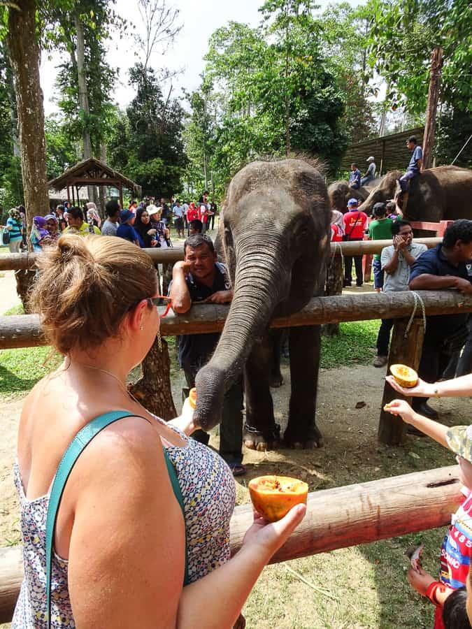 Feeding papaya to the elephants