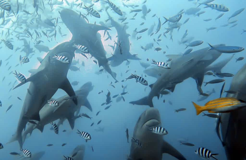 diving with sharks in Fiji