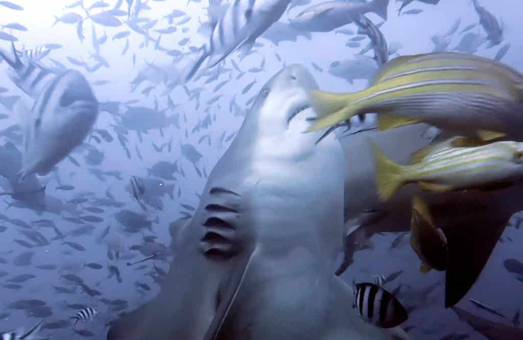 Scuba diving with sharks in Fiji