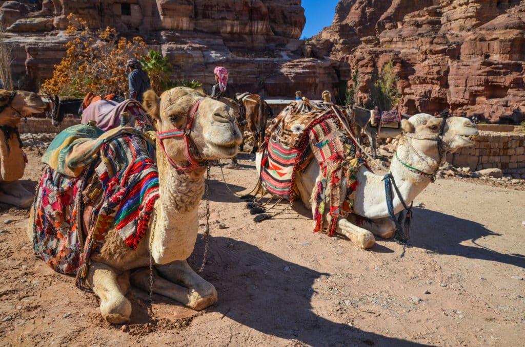herd of camels in Petra